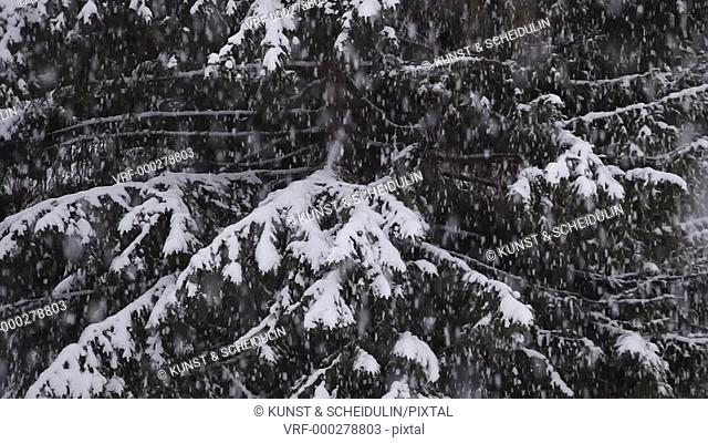 Heavy snowfall in northern Sweden, thick snowflakes are softly falling on the branches of a spruce (Picea) tree. Noraström, Västernorrlands Län, Sweden