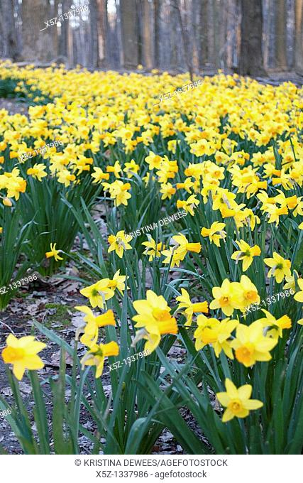 Hundreds of yellow orange daffodils along a path in the woods