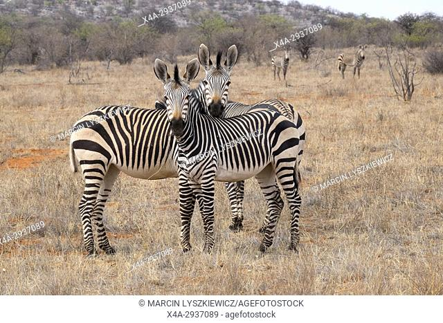 Group of mountain zebras (Equus zebra), Etosha National Park, Namibia