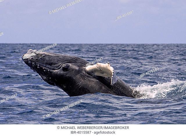 Humpback Whale (Megaptera novaeangliae), Silver Banks, Dominican Republic