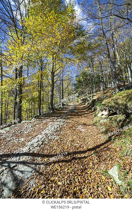 Dirt trail in the forest of beeches in autumn (Oropa Valley, Biella province, Piedmont, Italy, Europe)