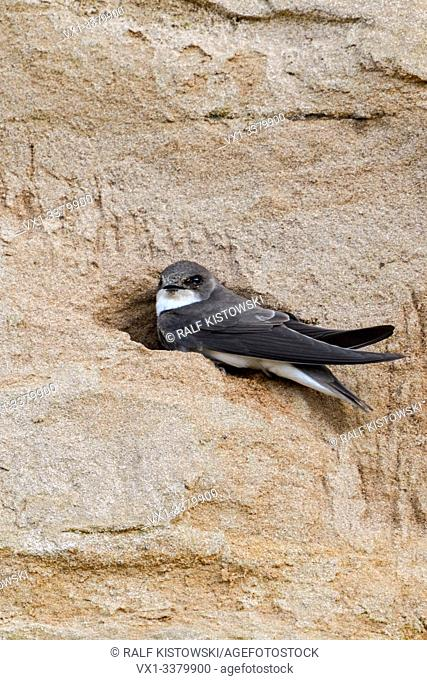 Sand Martin / Bank Swallow / Uferschwalbe ( Riparia riparia) sitting in the entrance of its nest hole in a steep river bank, wildlife, Europe