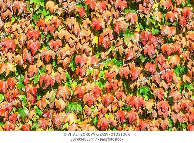 Abstract background wall of autumn leaves of wild grapes