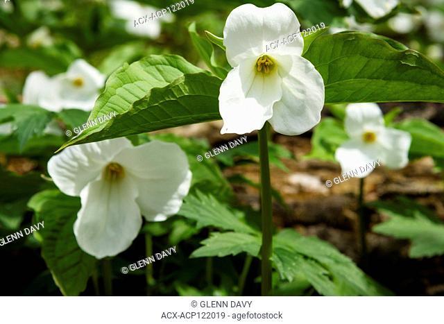 Small cluster of White Trilliums (Trillium grandiflorum), Ontario's Provincial flower in hardwood bush, nr Orangeville, Ontario, Canada