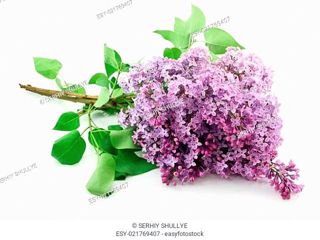 Bunch of Lilac Blossom Isolated on White