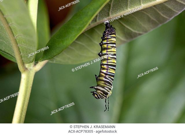 Monarch butterfly changing from caterpillar to pupa or chrysalis-forming stage, attached to milkweed leaf. (Danaus plexippus)