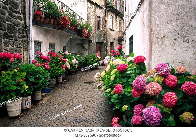 Rua Alegria with hortensias. Trancoso. Beira Alta. Portugal