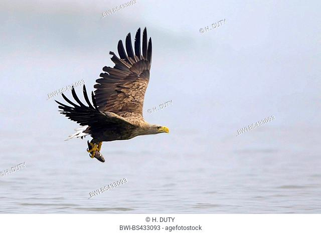 white-tailed sea eagle (Haliaeetus albicilla), adult inflight over the lake with caught fish, Germany, Mecklenburg-Western Pomerania, Malchiner See