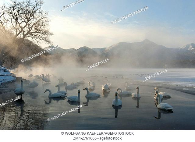 Whooper swans (Cygnus cygnus) swimming in the open water and steam from the hot springs at Lake Kussharo, which is a caldera lake in Akan National Park