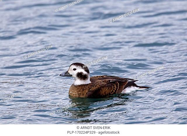 Long-tailed duck (Clangula hyemalis) female swimming at sea in winter