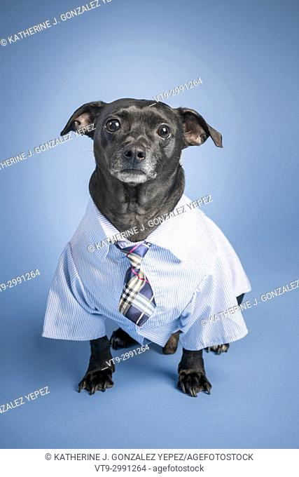 Portrait of a black dog dressed up as an office worker