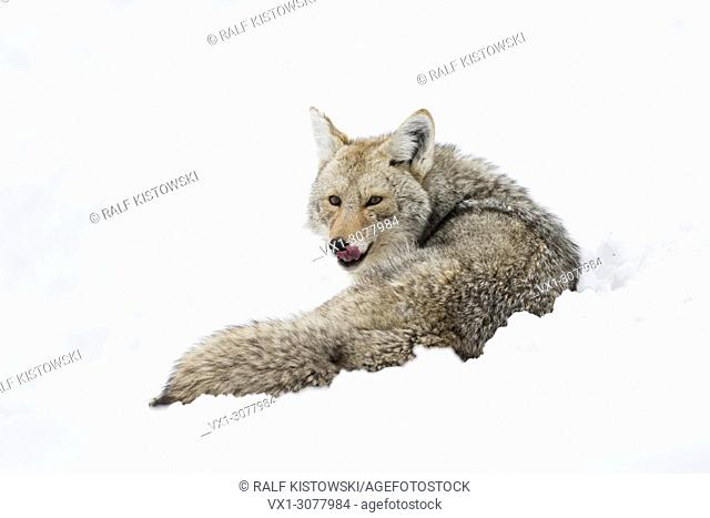 Coyote ( Canis latrans ) in winter, lying in high snow, resting, licking its tongue, watching attentive, Yellowstone NP, USA.