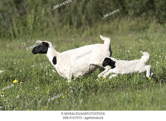 China, Inner Mongolia, Hebei Province, Zhangjiakou, Bashang Grassland, Sheep, adult with young, Mother and baby just born