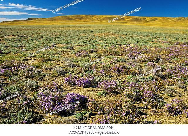 Grasslands in bloom with asters (West Block) Grasslands National Park Saskatchewan Canada