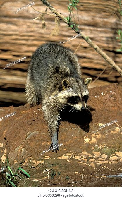 North American Raccoon, Procyon lotor, Bryce Canyon, Utah, USA, adult at water searching for food