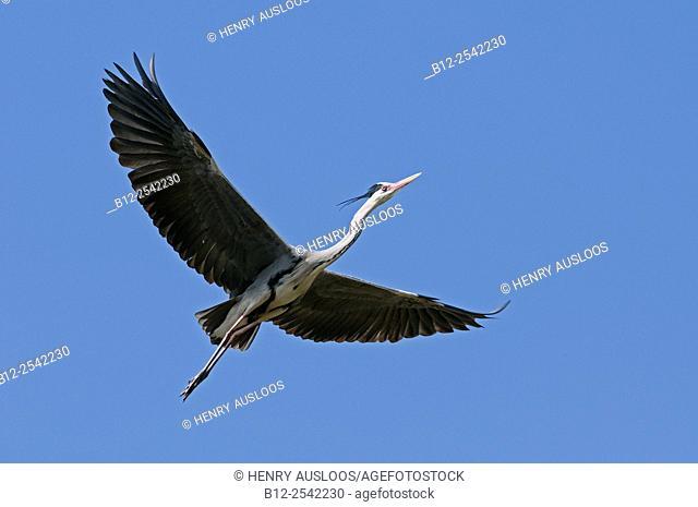 Grey Heron (Ardea cinerea) in flight. France