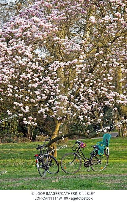 Bicycles standing by a magnolia tree in the Volksgarten city park in Duesseldorf
