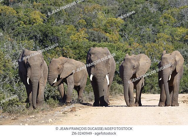 African bush elephants (Loxodonta africana), herd, walking on a dirt road, Addo Elephant National Park, Eastern Cape, South Africa, Africa