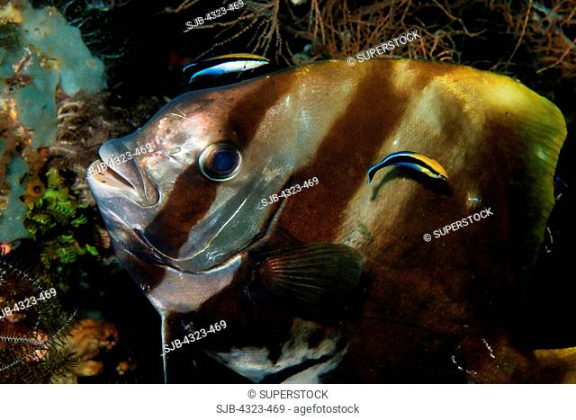 Pinnate Spadefish at Cleaning Station