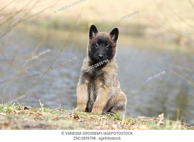 Dog Belgian shepherd Malinois puppy Sitting in front of the lake