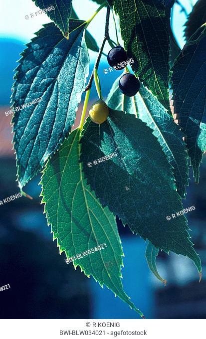 European hackberry, nettle tree Celtis australis, leaves with fruits
