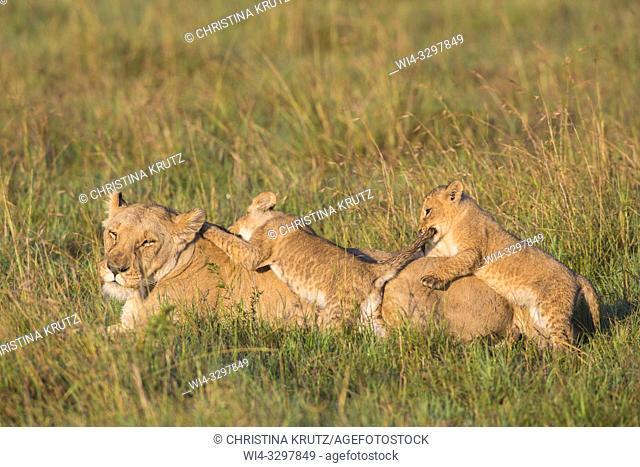 African Lion (Panthera leo) female with two cubs, Maasai Mara National Reserve, Kenya, Africa