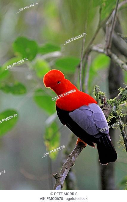 Male Andean Cock-of-the-rock (Rupicola peruvianus) resting in a Colombian tropical rainforest