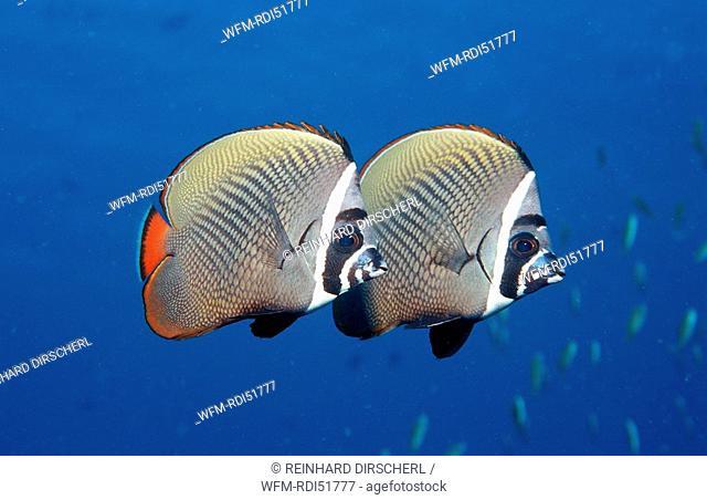 butterflyfish, Chaetodon collare, Indian Ocean Ari Atol, Maldives Island