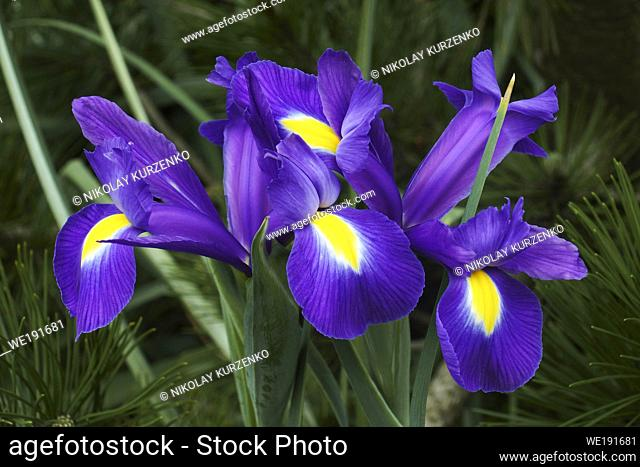 Dutch iris (Iris xiphium). Called Spanish iris also