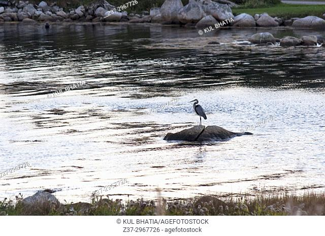 A Blue-Grey heron on a rock at dusk in a cove of the Atlantic Ocean, its natural habitat, Halifax, Nova Scotia, Canada