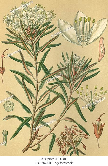 Historical chromo image 1880 of medicinal plant Porst, Ledum palustre
