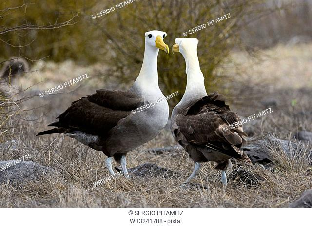 Waved albatross (Diomedea irrorata), Punta Suarez, Espanola Island, Galapagos Islands, UNESCO World Heritage Site, Ecuador, South America