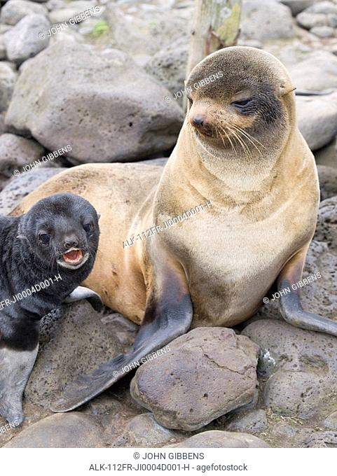 Portrait of a Northern Fur Seal female with her pup, St. Paul Island, Southwest Alaska, Summer