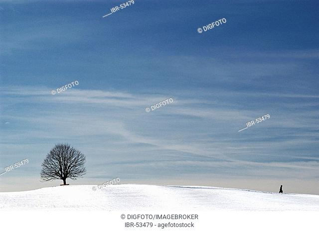 Solitary tree and walker under blue sky in a winter scenery, Bavaria, Germany