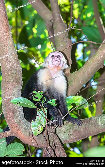 White-faced capuchin monkey (Cebus capucinus) in rainforest, Manuel Antonio National Park, Puntarenas Province, Costa Rica