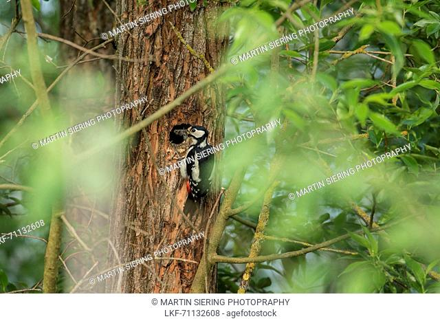 Great spotted woodpecker at the nest, feeding, forest, Fehrbellin, Linum, Brandenburg, Germany