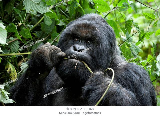 Mountain Gorilla (Gorilla gorilla beringei) silverback feeding, Parc National des Volcans, Rwanda