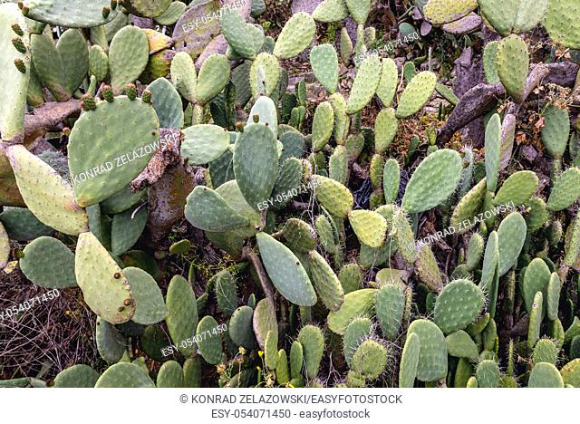 Opuntia plant on the slopes of Castelmola town in the Province of Messina in the Italian region Sicily