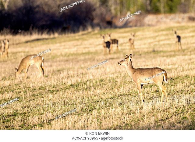 White-tailed Deer (Odocoileus virginianus), Barrie Island, Manitoulin Island, Ontario