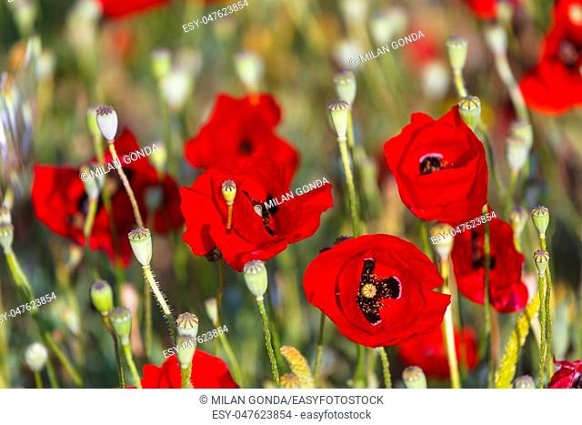Wild poppy flowers on Fourni island and view of Thymaina island early in the morning, Greece.