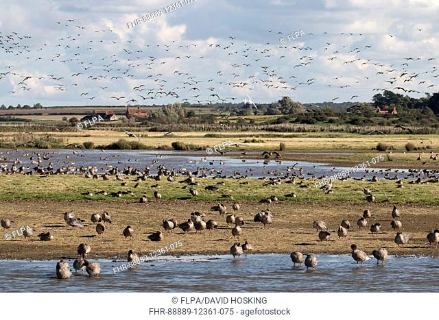 Pink footed Geese flying into Deepdale Marsh looking towards Burnham Overy Mill