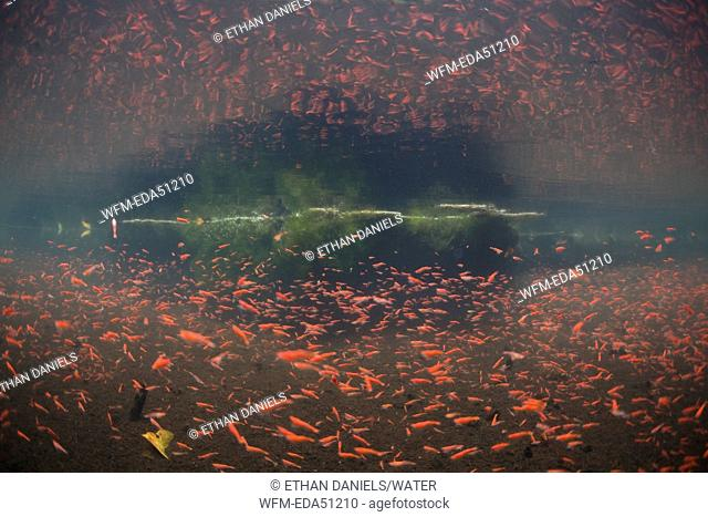 Millions of tiny red shhrimps in mangrove mud pit, Unidentified Species, Wayag, Raja Ampat, West Papua, Indonesia