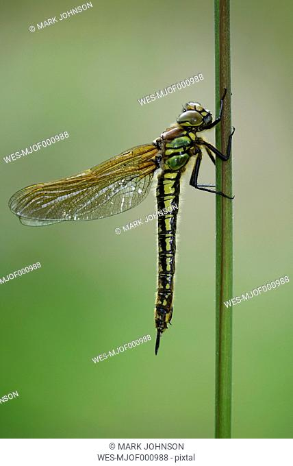 Hairy dragonfly hanging on blade of grass