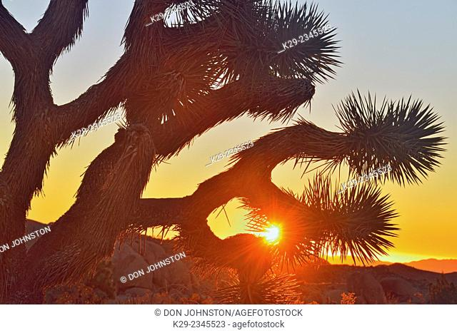 Joshua tree at sunrise, Joshua Tree National Park, California, USA