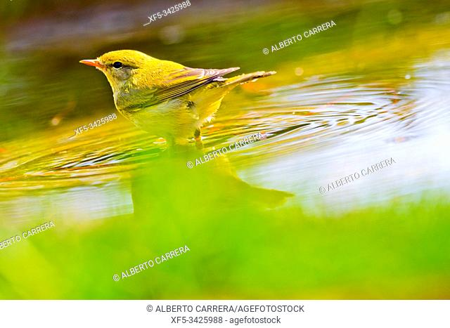 Willow Warbler, Phylloscopus trochilus, Mosquitero Musical, Forest Pond, Castilla y León, Spain, Europe