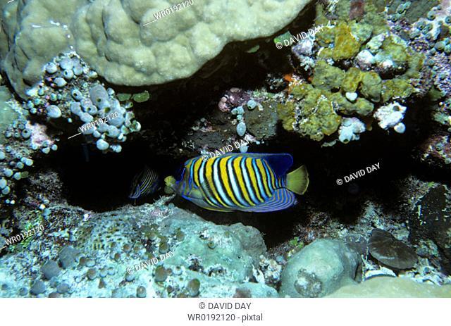 Regal angelfish over corals, Palau Pygoplites diacanthus Palau Belau, Pacific Ocean