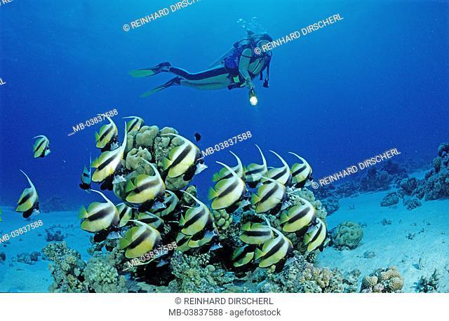 Red sea pennant fish, Hiniochus intermedius, divers
