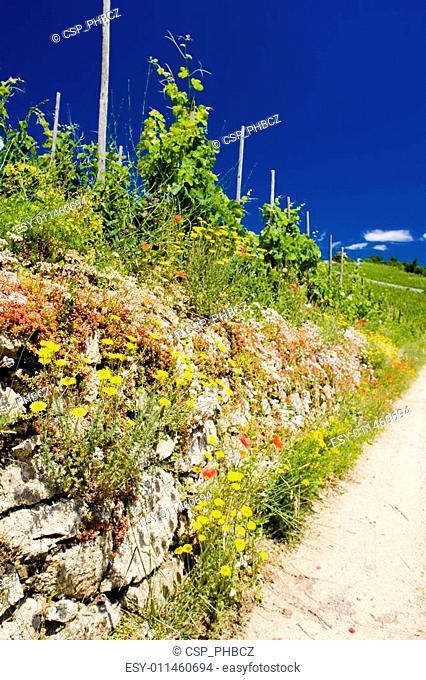 grand cru vineyard, L�Hermitage, Rh�ne-Alpes, France