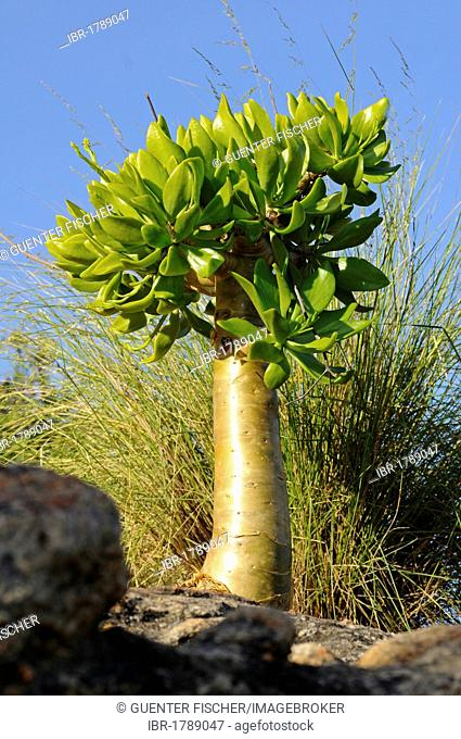Botterboom or Butter Tree (Tylecodon paniculatus) in habitat, Richtersveld, South Africa, Africa