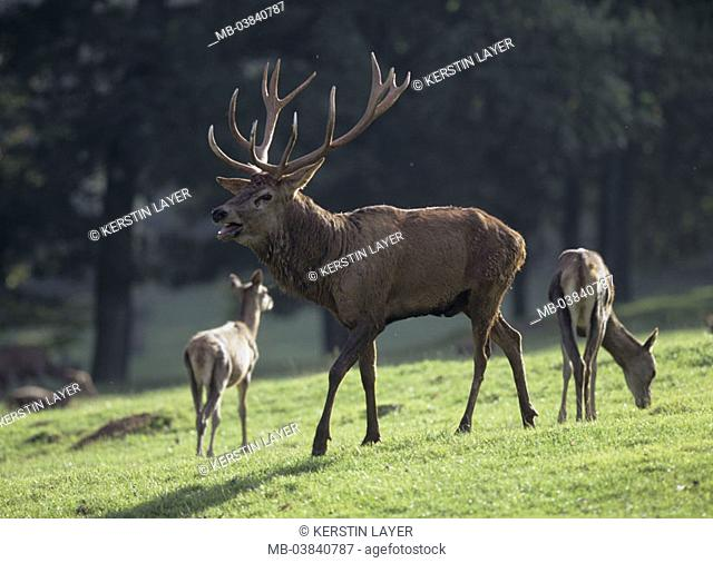 red deer, Cervus elaphus, heat, edge of the forest
